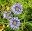 canvas print picture - Fleurs bleues