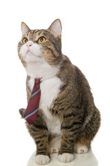 Grey  cat with a red tie