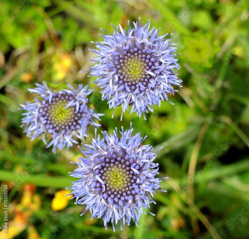 canvas print picture Fleurs bleues