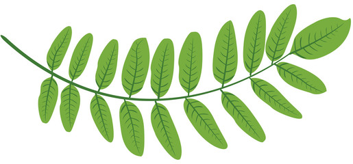Feuilles acacia verte illustration 1