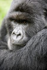 Portrait eines Gorillas