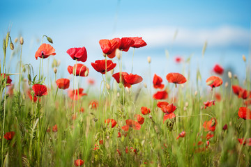 Field of Poppy Flowers Papaver rhoeas in Summer, selective focus