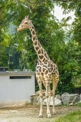 Full Body of Standing Tall Giraffe