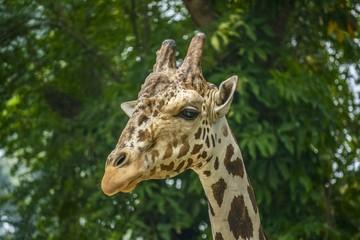 Head Close up of Giraffe