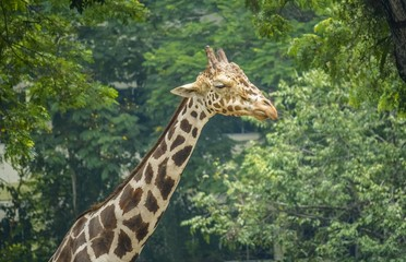 The long and tall Giraffe