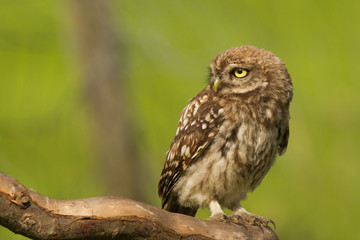 little owl close-up