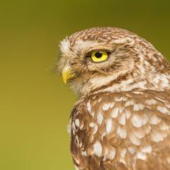 little owl close-up