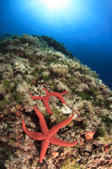 Red Starfish underwater