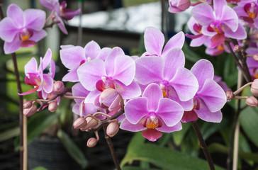Beautiful orchid (Phalaenopsis)