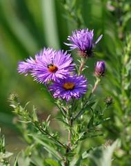 Дикая пчела на сиреневых цветах