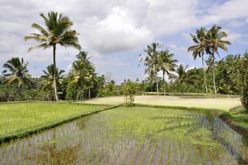 Indonesia. Bali. Ubud le risaie di Tegalalangan