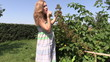 young pregnant woman eat  blackberries from branch in garden