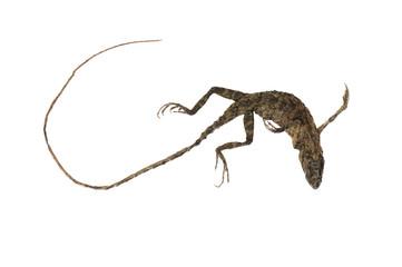 Chameleon dead body