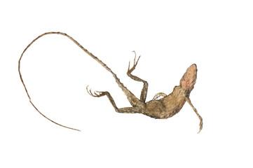 Chameleon body isolated