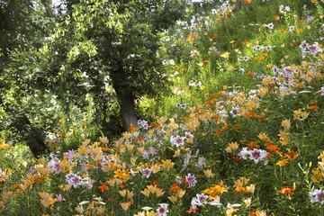 丘陵地に咲くユリ