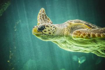 huge sea turtle underwater next to coral reef