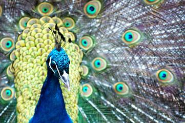Pfau - Prachtvolle Vögel