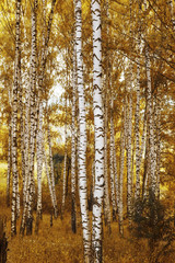 forest birch in autumn colours