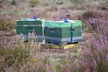 beehives on the heath in holland
