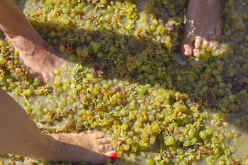 stepping the grape harvest