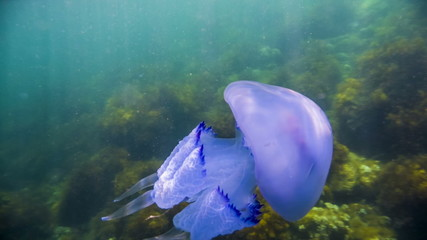 Great  Jellyfish