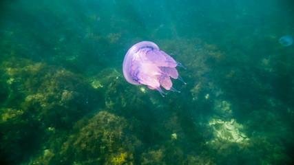 Great Purple Jellyfish In The Sea