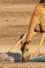 Giraffe drinking at the waterhole, Etosha, Namibia