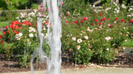 Water fountain against vibrant colorful rose garden