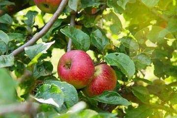 ripe of apple