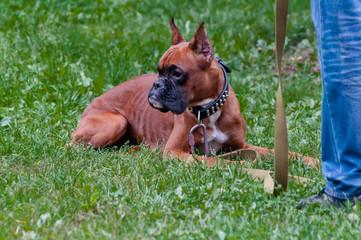 boxer dog training - order laying