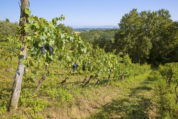 Organic grape vines for wine production in Tuscany