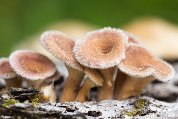 Young hairy mushroom cluster on log. Lentinus crintis?