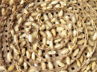 group of silk worm cocoons nests