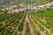 landscape with bright green vine cultures in the Douro region, P