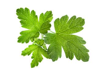 Gooseberry leaf