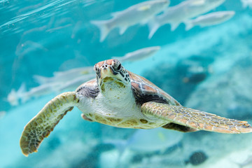 Green  turtle (Chelonia mydas) swimming
