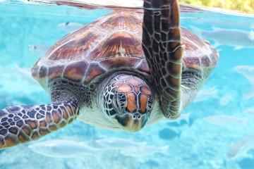 Green  turtle (Chelonia mydas) swimming