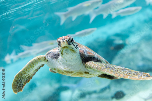 Foto op Canvas Schildpad Green turtle (Chelonia mydas) swimming