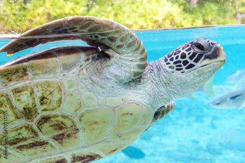 Fotobehang Schildpad Green turtle (Chelonia mydas) swimming