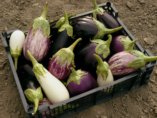 fresh harvested eggplants in plastic container