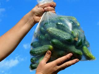fresh harvested cucumbers in plastic bag