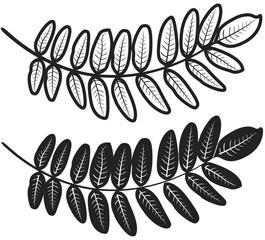 Feuilles acacia pictos