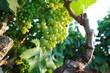 Viti con grappoli d'uva - 70339330