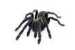 black curly-hair tarantula Brachypelma albopilosum isolated - 70339363