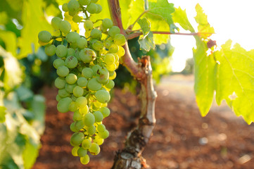 Grappolo d'uva al tramonto