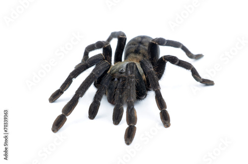 Fototapeta black curly-hair tarantula Brachypelma albopilosum isolated