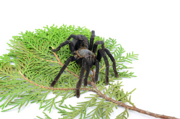 tarantula Brachypelma albopilosum isolated