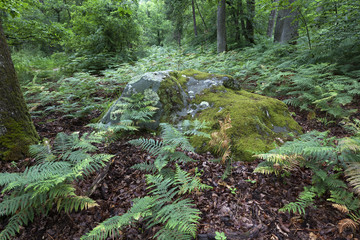 Ferns in the wood