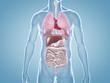 Leinwanddruck Bild - Innere Organe: anatomische 3D-Illustration
