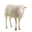 sheep isolated on white - 70340524